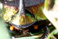 rainbow scarab 7